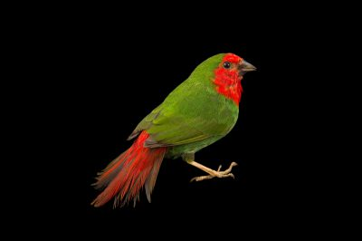 Picture of a red-throated parrotfinch (Erythrura psittacea) from a private collection in the Dominican Republic.