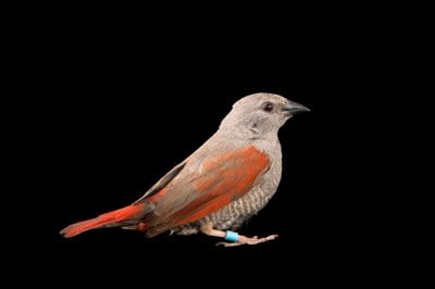 Picture of a red-winged pytilia (Pytilia phoenicoptera) from a private collection.