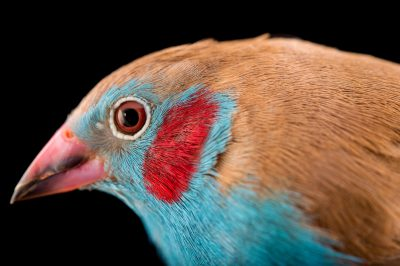 Picture of a red-cheeked cordon-bleu finch (Uraeginthus bengalus brunneigularis) from a private collection.