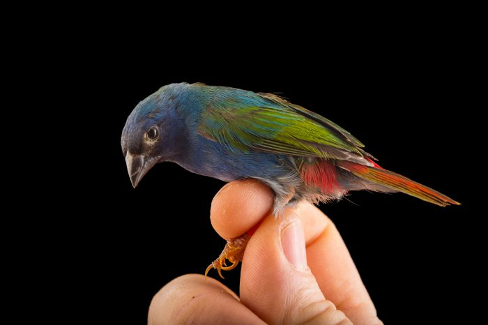Photo: A tricolored parrot finch (Erythrura tricolor) from a private collection of Glen Holland.