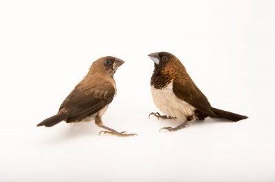 Picture of Javan munia (Lonchura leucogastroides) from a private collection.