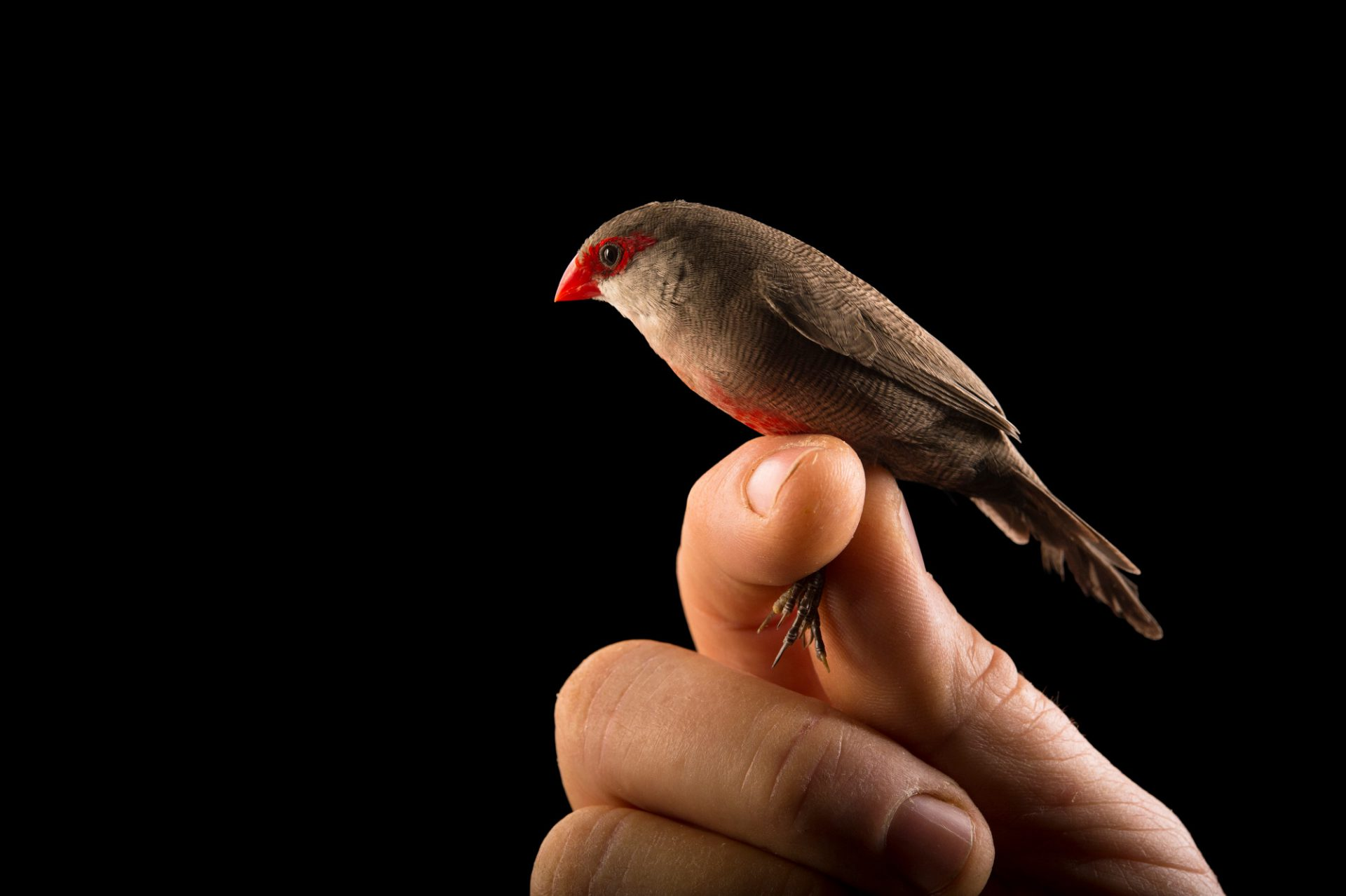 Picture of a common waxbill (Estrilda astrild) from a private collection.