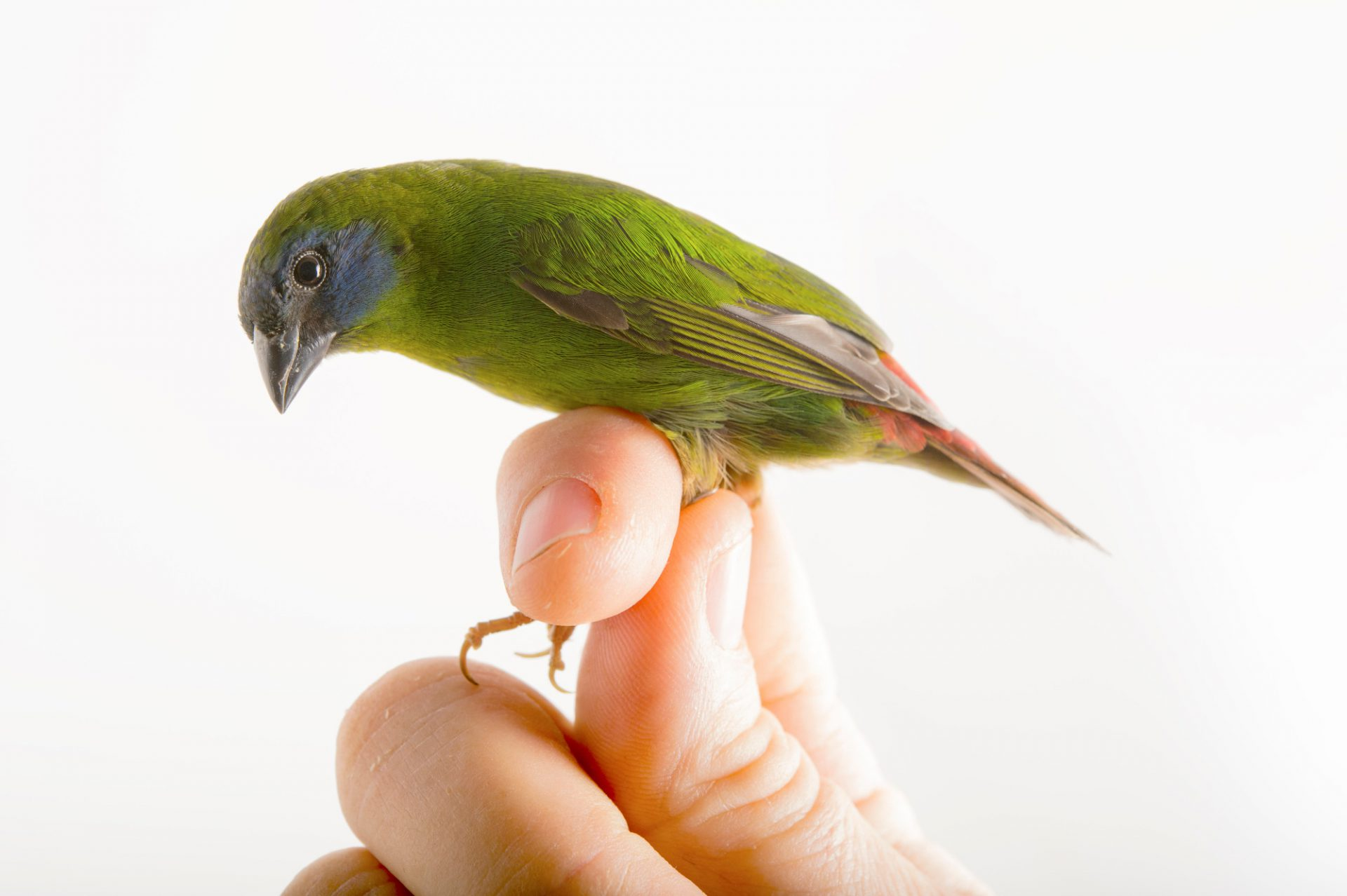 Picture of a blue-faced parrotfinch (Erythrura trichroa) from a private collection.