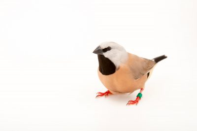 Picture of a black-throated finch (Poephila cincta) at Healesville Sanctuary.