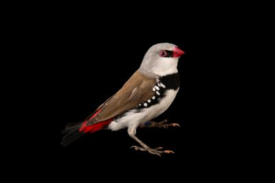 Picture of a diamond firetail (Stagonopleura guttata) at Healesville Sanctuary.