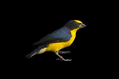 Picture of a thick-billed euphonia (Euphonia laniirostris) at the National Aviary breeding center in Palmar, Colombia.