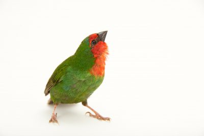Picture of a red-faced parrot finch or red-throated parrotfinch (Erythrura psittacea) at Sylvan Heights Waterfowl Park.