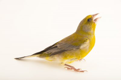 Photo: European greenfinch (Chloris chloris) from the Budapest Zoo.