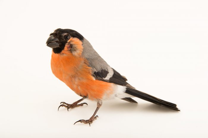 Photo: Common bullfinch or Eurasian bullfinch (Pyrrhula pyrrhula) from the Budapest Zoo.