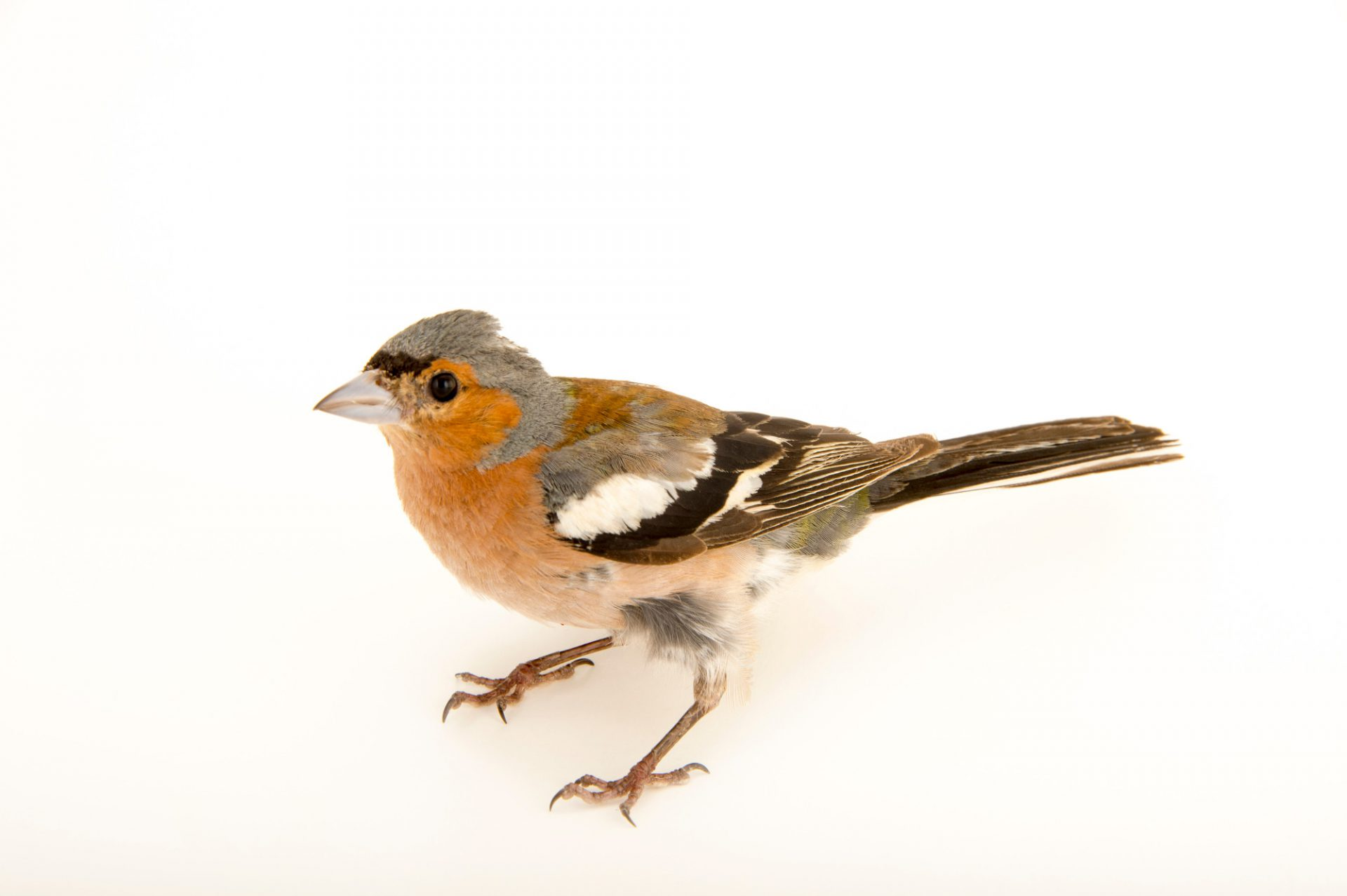 Photo: An adult male common chaffinch (Fringilla coelebs) at the Budapest Zoo.