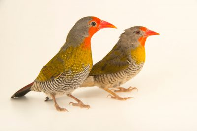 Two subspecies of melba finch (Pytilia melba) from a private collection. The one with grey splitting the red face in two is Pytilia melba belli.