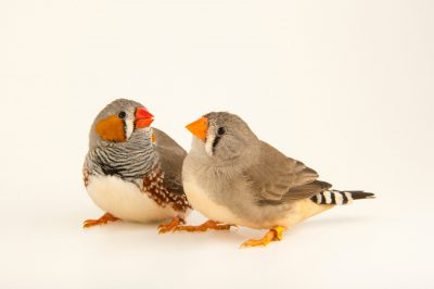 Photo: Zebra finches (Taeniopygia castanotis) at the Plzen Zoo.