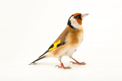 Picture of a European goldfinch (Carduelis carduelis carduelis) at the Plzen Zoo in the Czech Republic.