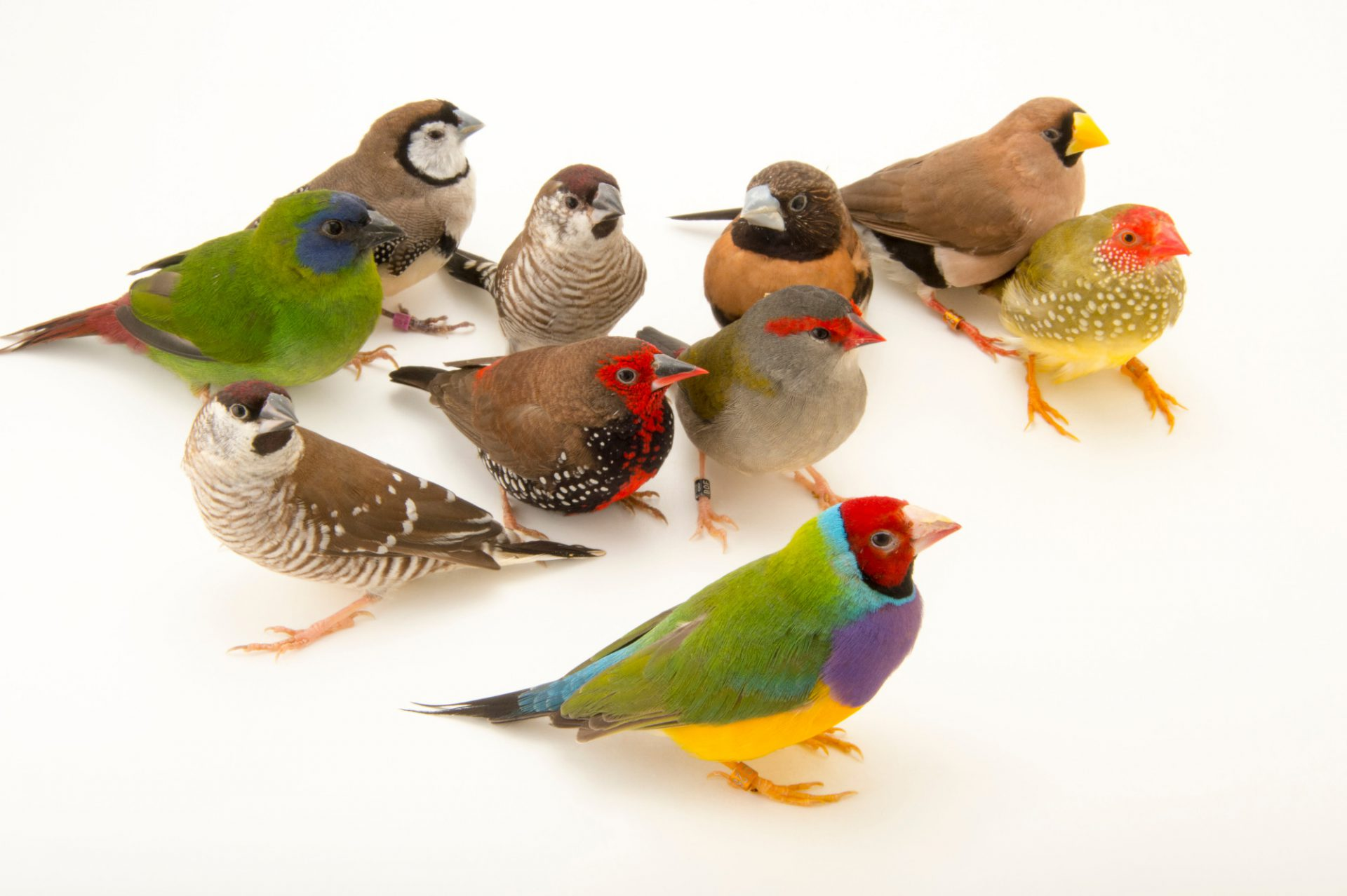 Picture of Australian finches from Plzen Zoo in the Czech Republic.