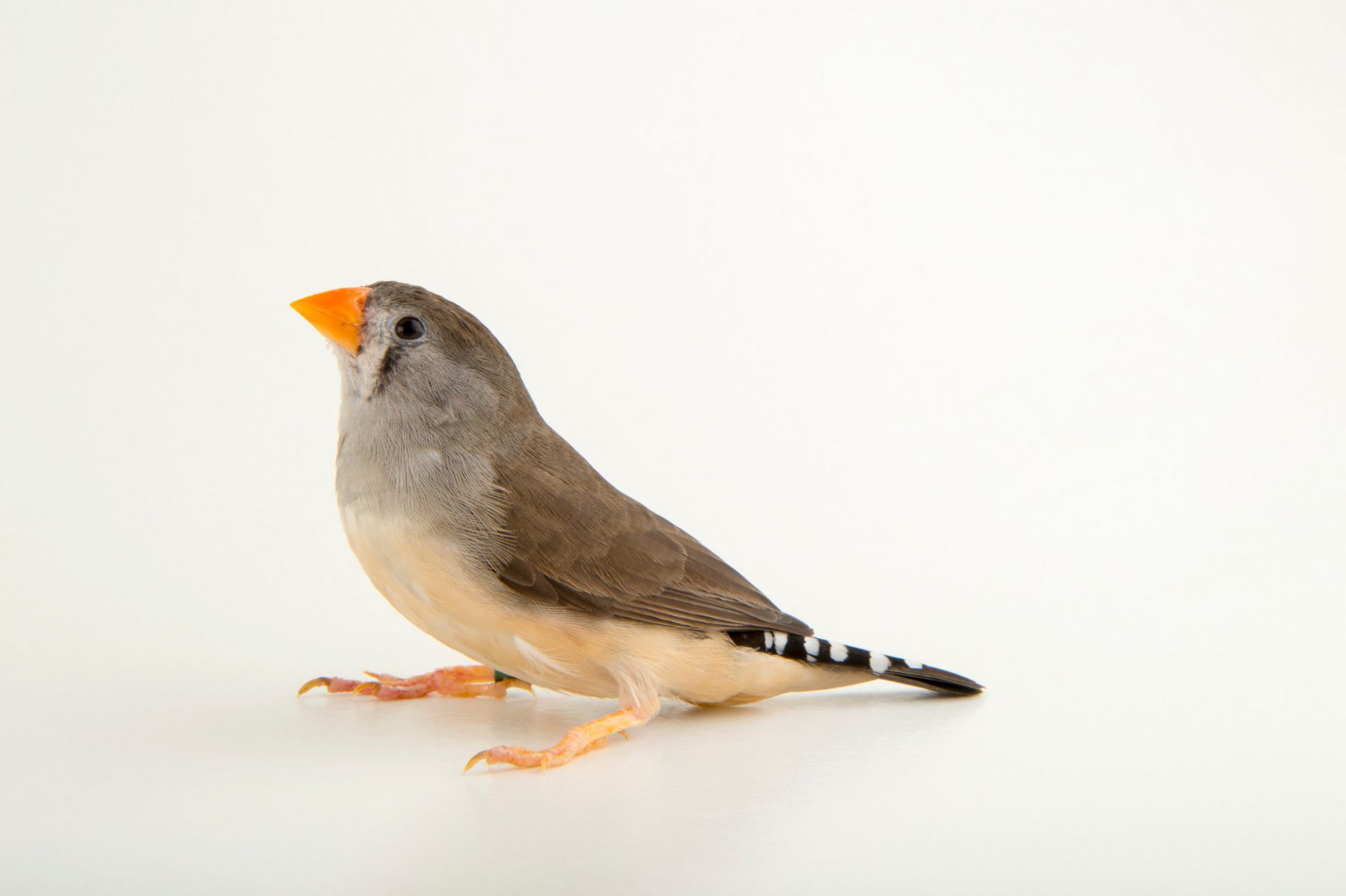 A female Timor zebra finch (Taeniopygia guttata) at the Plzen Zoo in the Czech Republic.