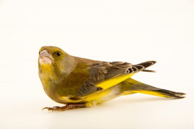 Photo: European greenfinch (Carduelis chloris chloris) at the Plzen Zoo in the Czech Republic.