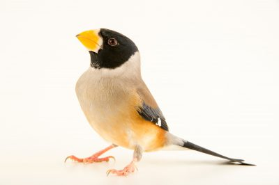 Photo: Chinese grosbeak (Eophona migratoria) at the Plzen Zoo in the Czech Republic.