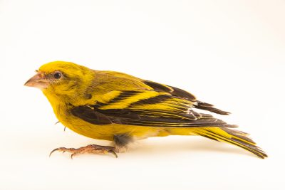 Photo: Yellow-crowned canary (Serinus flavivertex) in Santa Cruz, Tenerife, Spain.