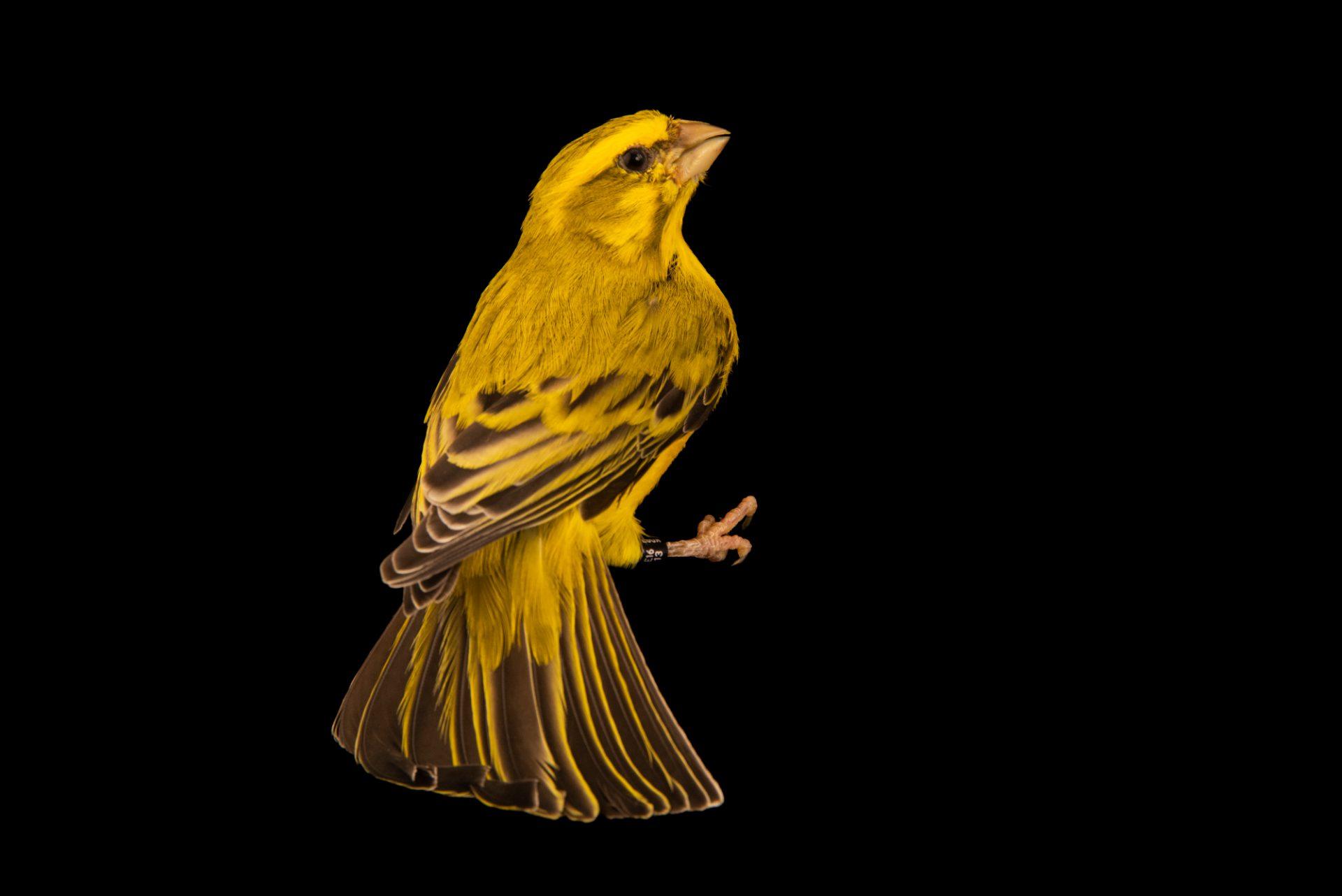 Photo: Yellow canary (Serinus flaviventris) in Santa Cruz, Tenerife, Spain.