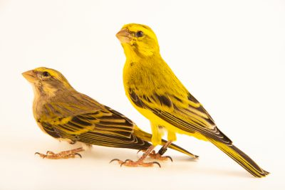 Photo: Yellow canary (Serinus flaviventris) in Santa Cruz, Tenerife, Spain.