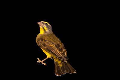 Photo: Yellow-fronted canary (Serinus mozambicus caniceps) in Santa Cruz, Tenerife, Spain.