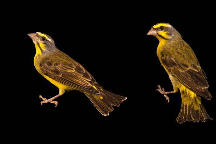 Photo: Yellow-fronted canary (Serinus mozambicus caniceps) in Santa Cruz, Tenerife, Spain.