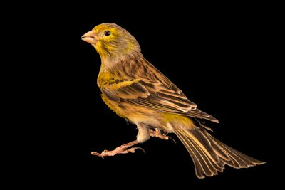 Photo: Atlantic canary (Serinus canaria) in Santa Cruz, Tenerife, Spain.
