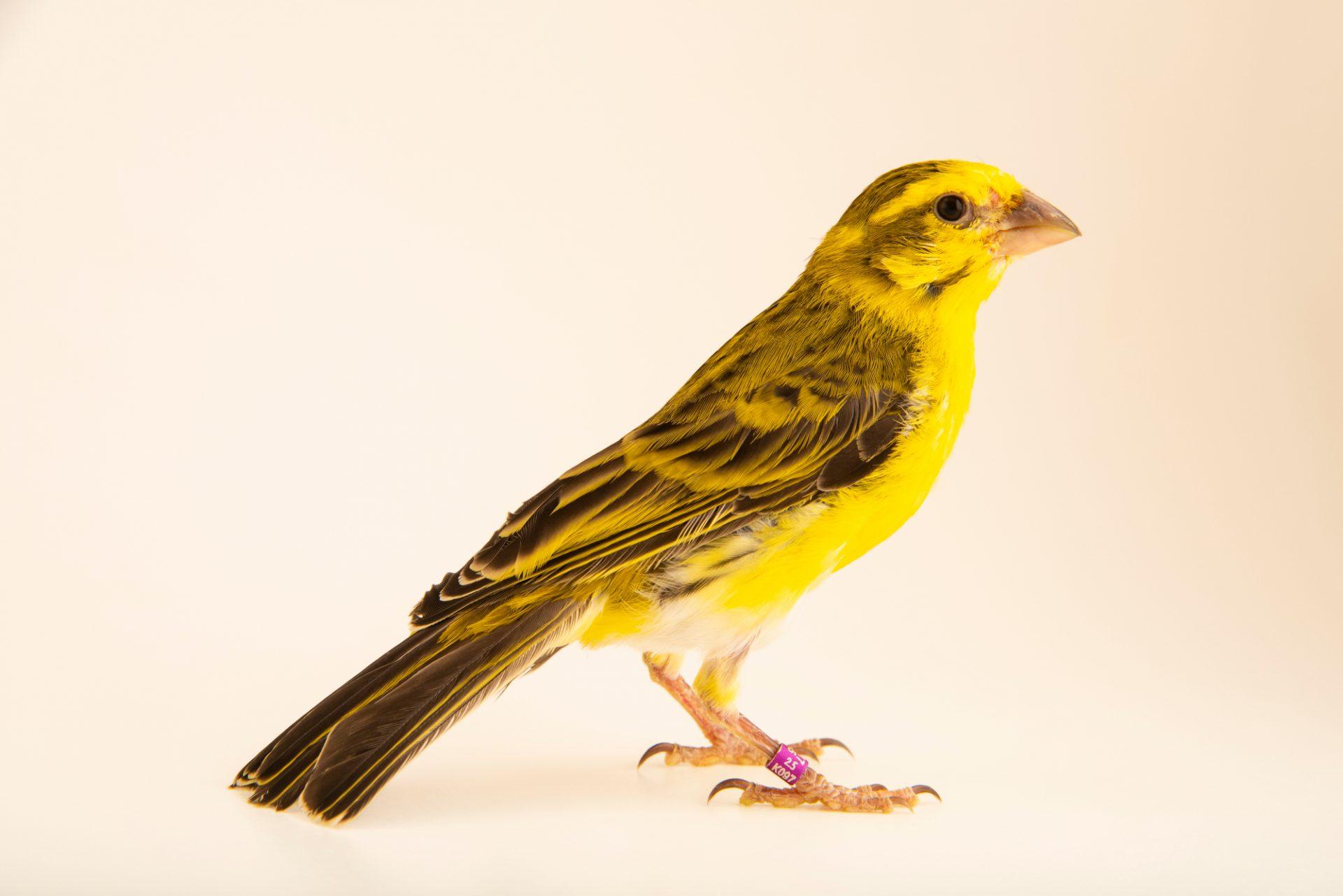 Photo: White-bellied canary (Serinus dorsostriatus) in Santa Cruz, Tenerife, Spain.