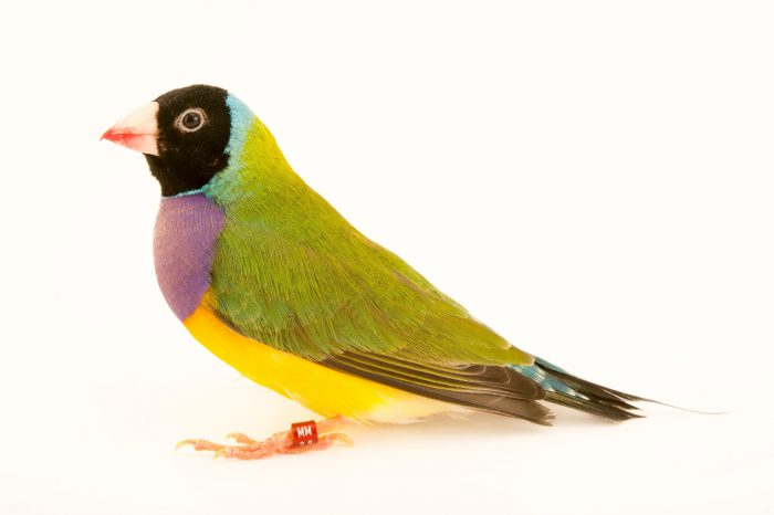 Photo: A Gouldian finch (Erythrura gouldiae), wild color form with a black head, from a private collection in Choussy, France.