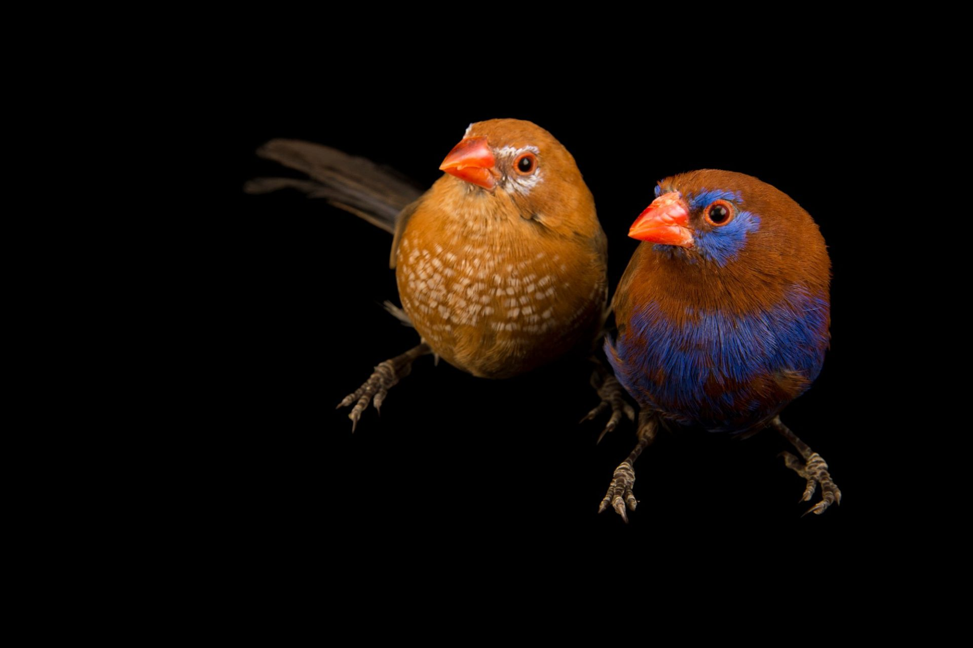 Photo: Two blue-bellied cordonbleu or purple grenadier (Granatina ianthinogaster) from a private collection in Choussy, France.