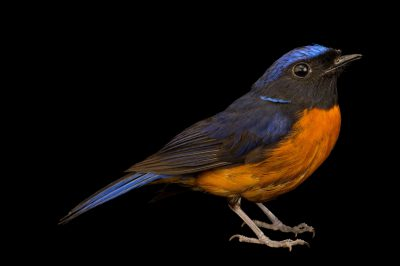 Photo: A male rufous-bellied niltava (Niltava sundara) from a private collection in Choussy, France.