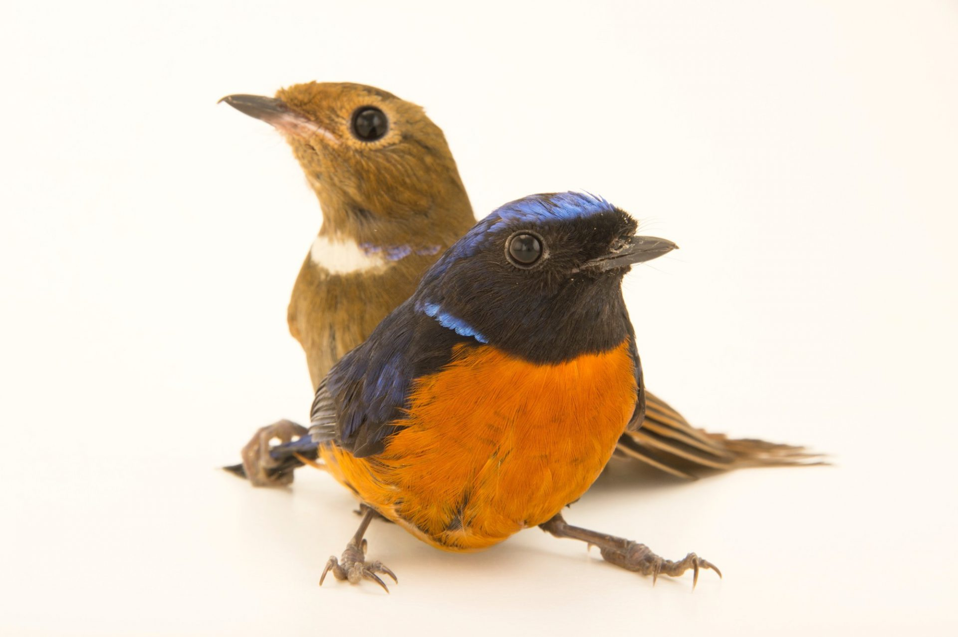 Photo: Two rufous-bellied niltava (Niltava sundara) from a private collection in Choussy, France.