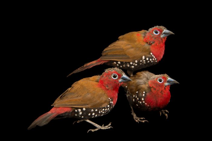 Photo: Three red-throated twinspot or Peters's twinspot (Hypargos niveoguttatus) from a private collection in Choussy, France.