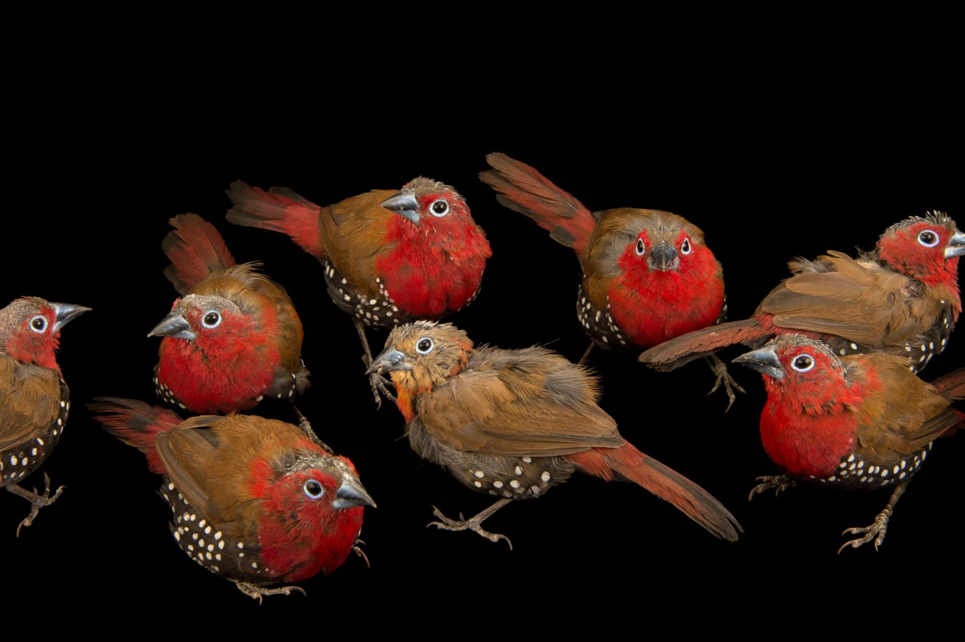 Photo: Eight red-throated twinspot or Peters's twinspot (Hypargos niveoguttatus) from a private collection in Choussy, France.