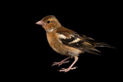 Photo: A chaffinch (Fringilla coelebs gengleri) at Hessilhead Wildlife Rescue.