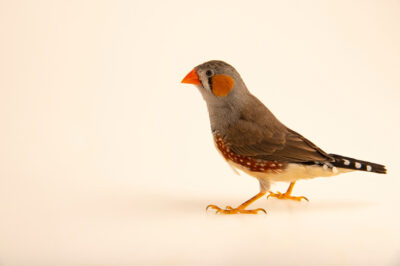 Photo: A timor zebra finch (Taeniopygia guttata timor) at Sylvan Heights Bird Park in Scotland Neck, North Carolina.