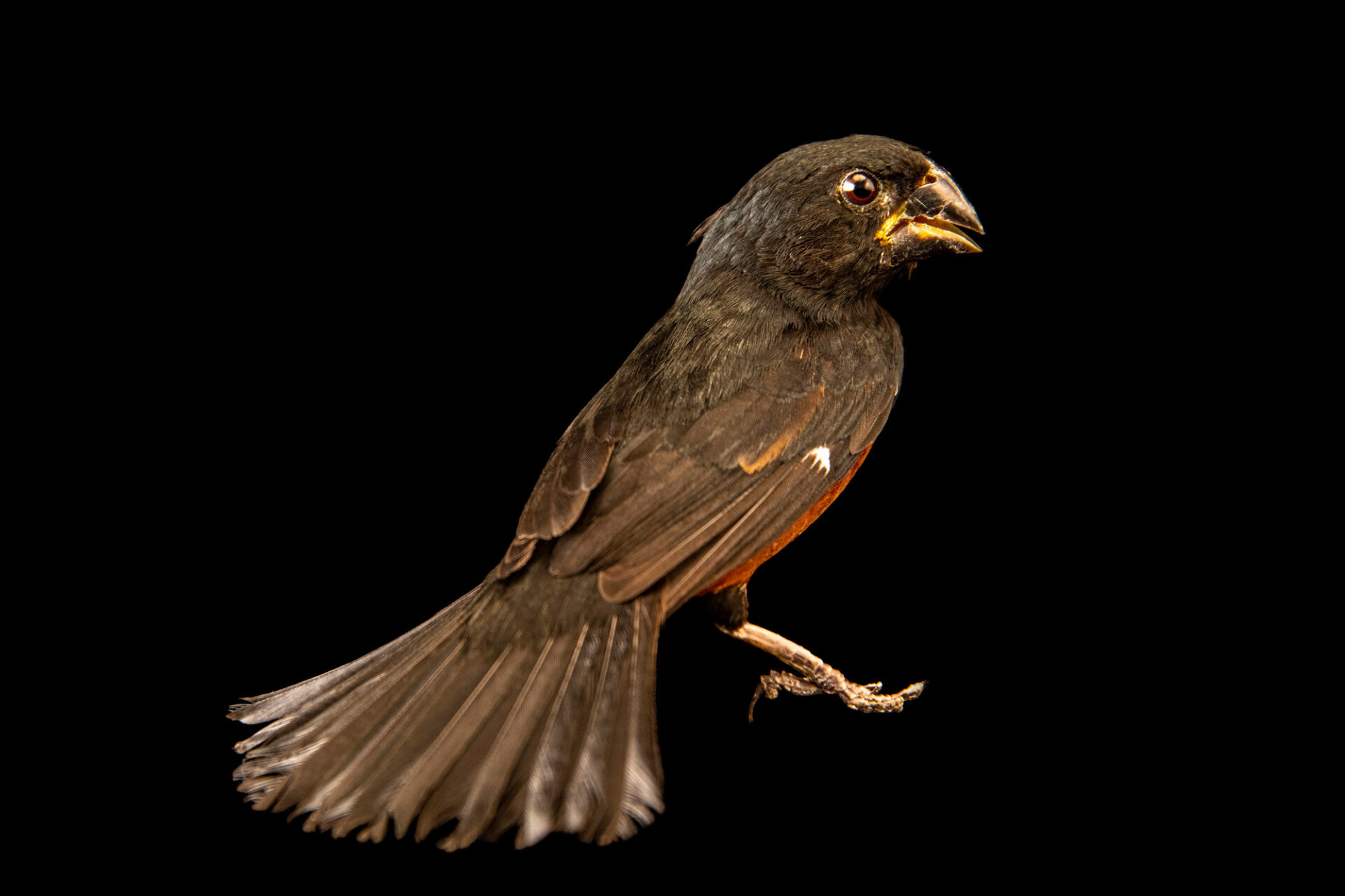 Photo: A chestnut-bellied seed finch (Sporophila angolensis torrida) at Cetas-Ibama in Brazil, a wildlife rehab center in Manaus, Brazil.