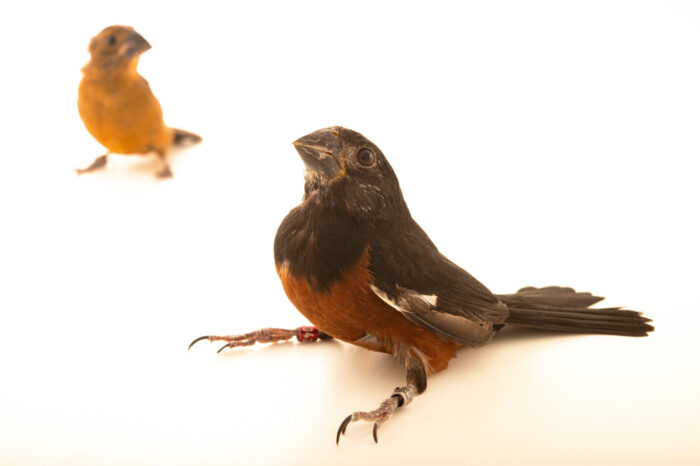 Photo: Two chestnut-bellied seed finches (Sporophila angolensis angolensis) at Fundacao Jardim Zoologico de Brasilia.