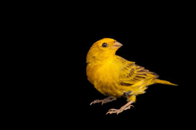 Photo: A Pelzenln's saffron finch (Sicalis flaveola pelzelni) at the Museo d'Orbigny Natural History Museum in Cochabamba, Bolivia.