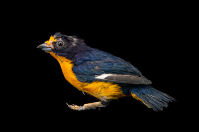 Photo: A male Violaceous euphonia (Euphonia violacea) at Zoopark Zajezd.