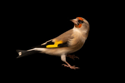 Photo: A grey-headed goldfinch (Carduelis carduelis subulata) at Zoo Plzeň.