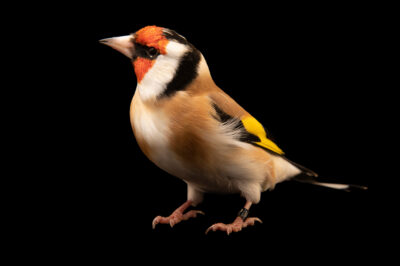 Photo: An Eurasian goldfinch (Carduelis carduelis frigoris) at Zoo Plzeň.