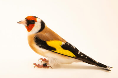 Photo: A Eurasian goldfinch (Carduelis carduelis frigoris) at Zoo Plzeň.