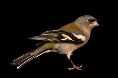 Photo: An African chaffinch (Fringilla coelebs africana) at Zoo Plzeň.