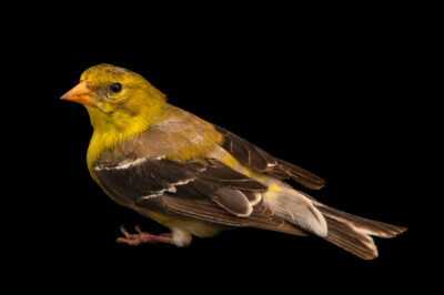 Photo: A second year female American goldfinch (Spinus tristis tristis) wild caught at Rum River Central Park.