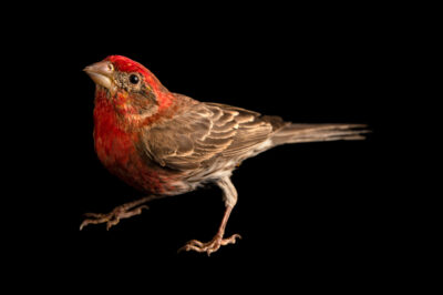 Photo: A male house finch (Haemorhous mexicanus frontalis) at Rogers Wildlife Rehabilitation in Hutchins, TX.