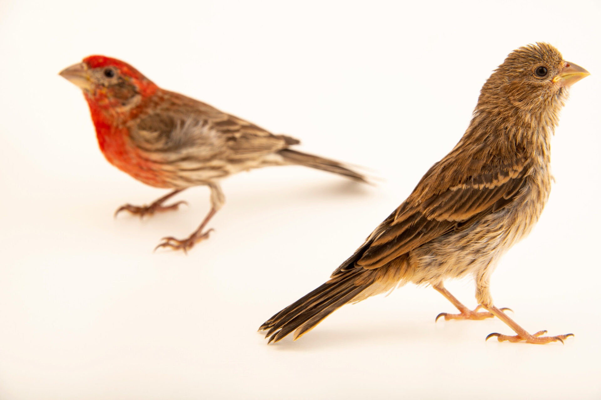Photo: A pair of house finch (Haemorhous mexicanus frontalis) at Rogers Wildlife Rehabilitation in Hutchins, TX. The male has a red breast.