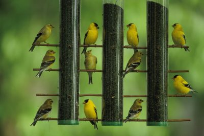 Photo: American goldfinches feed on thistle seed from a garden feeder.