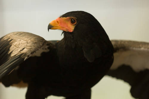 Picture of a bateleur eagle (Terathopius ecaudatus) spreading its wings at the Houston Zoo.