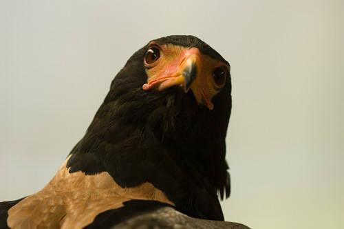 Picture of a bateleur eagle (Terathopius ecaudatus) at the Houston Zoo.